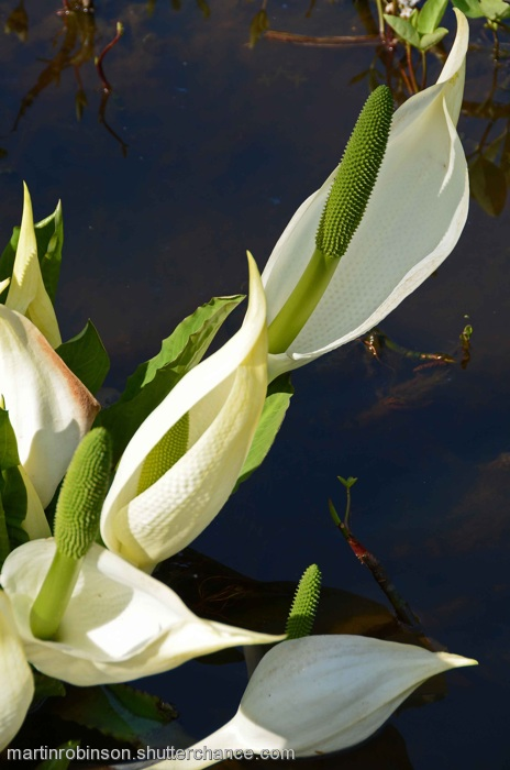 photoblog image Skunk Cabbage
